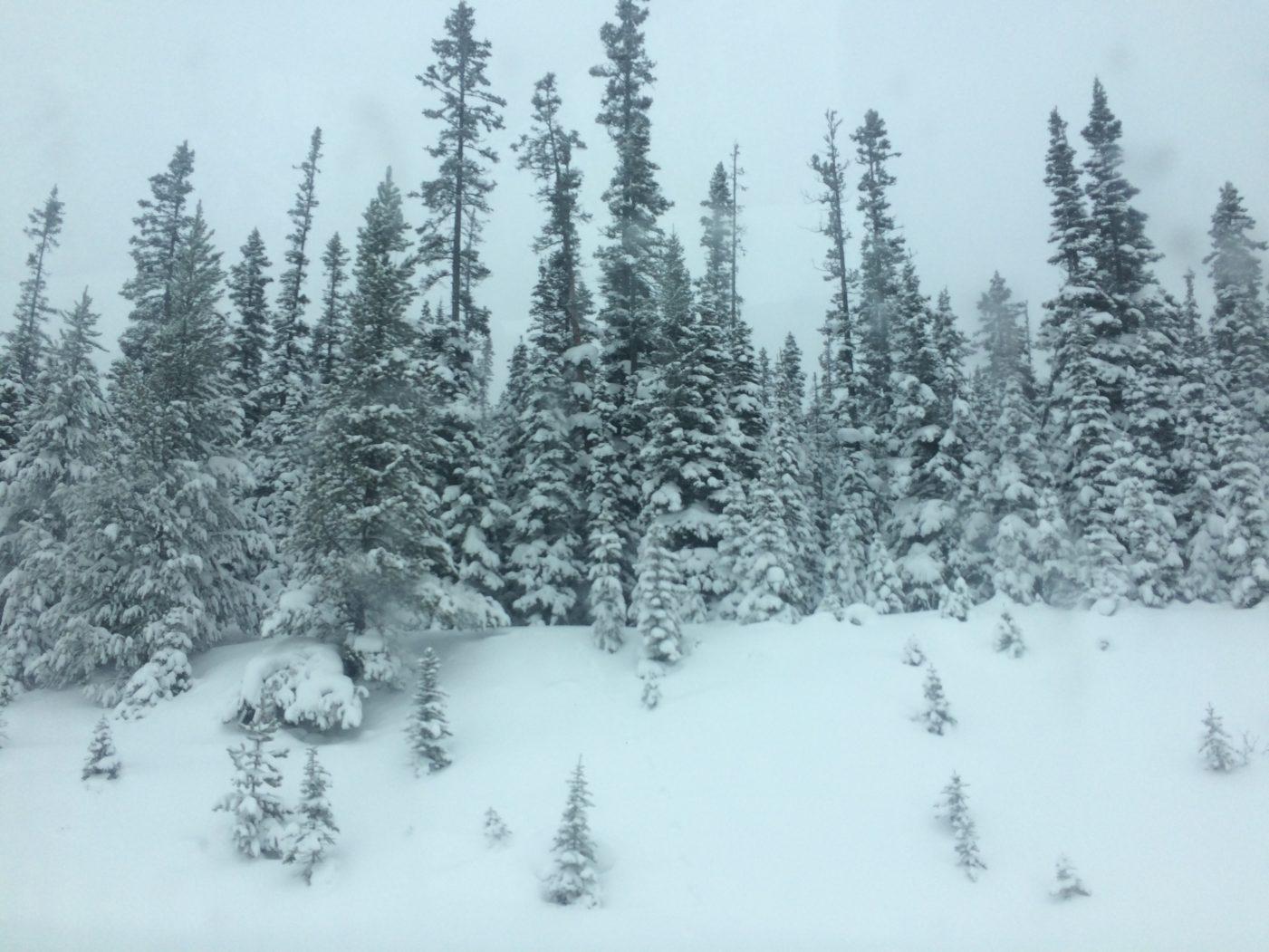 Trees in Alberta